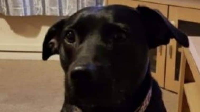 Picture of a black Labrador-Staffie cross