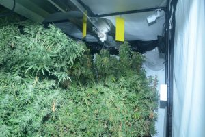 The cannabis factory