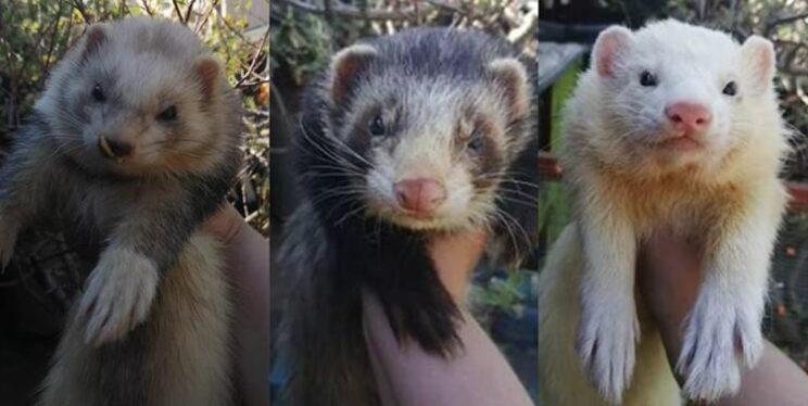 The stolen ferrets