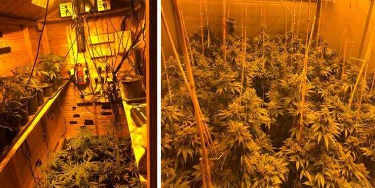 Cannabis plants seized by Southmead officers