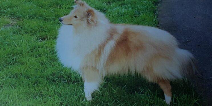 Stolen Shetland sheepdog